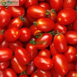 沽心-津沽园艺 蔬菜水果种子 番茄种子 小西红柿 红牛心