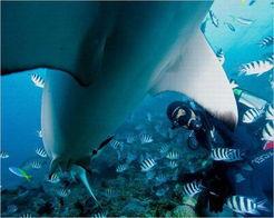 蛇女子宫性吞漫画-图9、尽管这些大鲨鱼极具攻击性,而且会吃人,但面对潜水员手里拿...