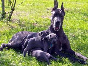 大丹犬可是作为德国王室贵族的犬种之一
