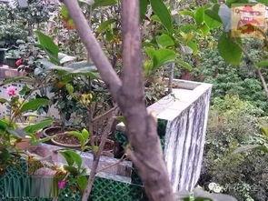 剪红花步骤-3、桂花树多头分枝去弱留强,红叉部分为修剪提示.   4、桂花树间隔...
