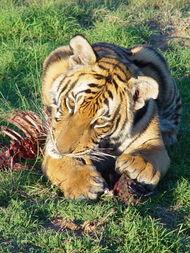 留学非洲的华南虎 一个女人挽救老虎的故事 转移阵地