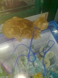 ...龙镇的店猫换了猫绳 有PP ,接着准备绝育 已经绝育成功