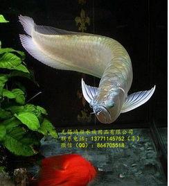 ...鱼活体鱼风水鱼财神鱼-观赏鱼用品报价 厂家