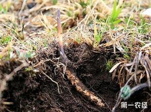 花上长小白飞虫是撒虫-【专家解答】   冬虫夏草又叫虫草,是虫和草结合在一起长的一种奇特...
