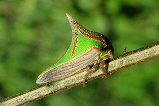 刺世龙雀-Umbonia 胸蛙,这种动物被誉为
