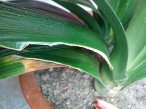 ...下,刚买回来的君子兰,为什么叶子有的中间有黄色的裂缝,有的...