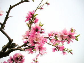 关于桃花的诗句
