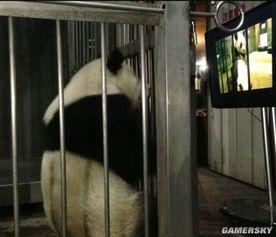 ... 中国熊猫看 A片 学交配
