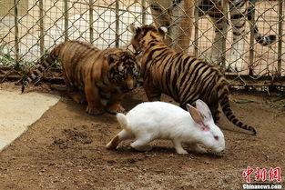 kigurumi神木林兔子-9月10日,山东青岛森林野生动物世界给春夏季出生的小豹进行体检,...