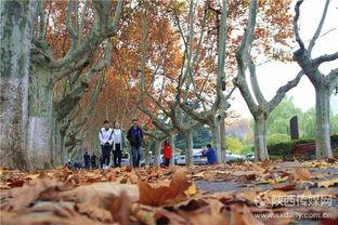 ...内彭康路上层层梧桐落叶给校园点缀了秋天的美景.据了解,最近央...