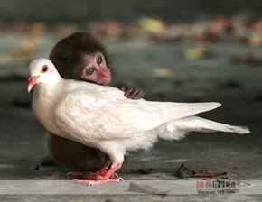 ...是日本的香川县动物园,照片上一只法国牛斗犬和一只刚出生两周的...