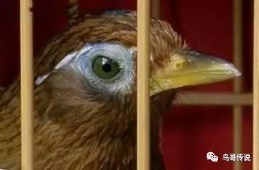 下山画眉鸟如何选购