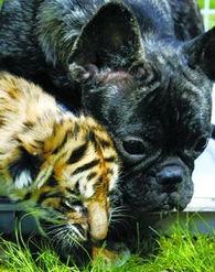 法国牛头犬和孟加拉虎崽-亲密无间的动物伙伴 动物