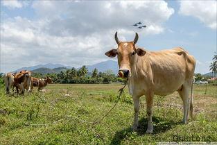 ....机场外,当地农民的牛在悠闲地吃草.天上飞过的是