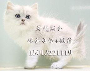 精品银虎斑美短 条纹清晰短毛猫 美国短毛猫 自家繁殖虎斑猫