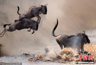 limbo蜘蛛追着过河-摄影师Paolo Torchio日前在肯尼亚马赛马拉自然保护区拍摄到了角马大...