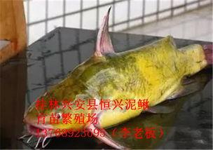 阳朔 网箱养殖黄鳝是目前最科学的养殖方式
