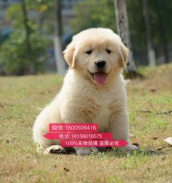 昆明金毛犬多少钱一只 昆明纯种金毛犬买卖价格