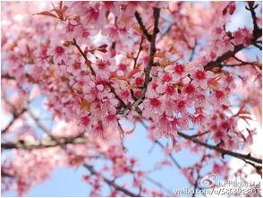 由于纬度低气候温暖,樱花二月到... 在春日暖阳中携老扶幼来赏花,...