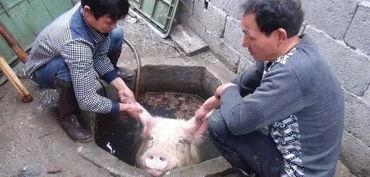 ?很多猪贩子,屠宰场已经在这个时候开始储备,但是这个时候的价格...