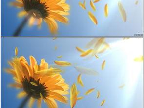 向日葵向阳花花瓣飘动舞台晚会背景视频