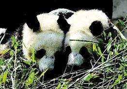 对大熊猫还没有命名,征名工作将完全由香港特区政府组织市民进行....