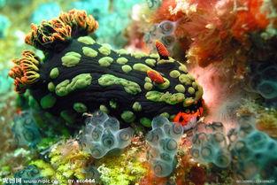 海底刺猬(刺豚)