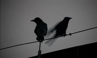 鹘入鸦群-...长安街上那么多乌鸦