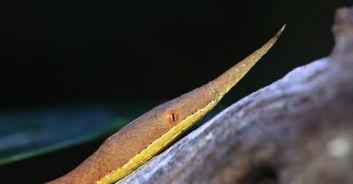 物.   爪哇闪皮蛇