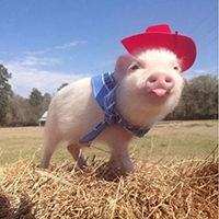 简笔画画一只可爱的小萌猪的画法