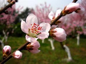 关于桃花的诗句集锦