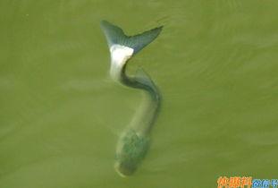 ...,鱼无法游到深水里,只能在水面上活动、觅食与生存,他们经常会...